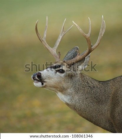 Mule Deer Buck lip-curling, against a smooth background