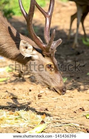 Mule Deer Buck portrait - stock photo