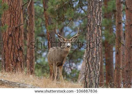 Mule Deer Buck standing amongst Ponderosa Pine Trees - stock photo