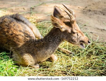Mule Deer Buck with huge antlers, profile portrait - stock photo