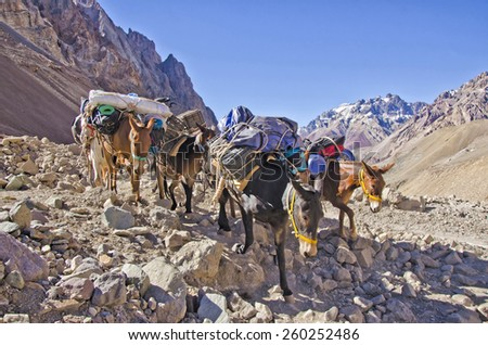 Mules  caravan  in the Andes Mountain near Aconcagua - stock photo