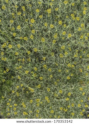 Mulinum spinosum, Apiaceae. Plant with leaves like thorns from arid climate. Desert. Nobody. texture. - stock photo