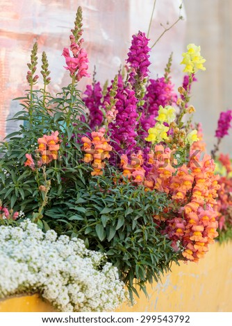 Multi Colored antirrhinum on flower bed - stock photo