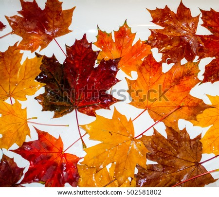 Multi-colored maple leaves lie on a white background.