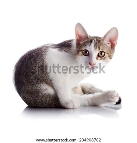 Multi Colored Cats Multi Colored Small Kitten