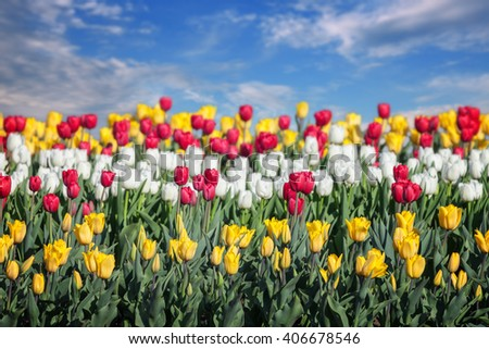Multi-colored tulips on a background of blue sky