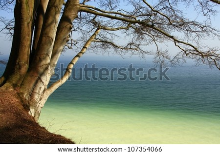 multi-trunked beech on the cliffs of the island of Ruegen, Baltic Sea, Germany