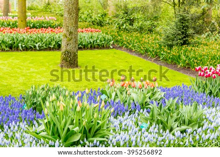 Multicolor and mixed flowerbed of muscari and tulips in the grass in the park at the day light - stock photo