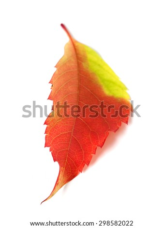 Multicolor autumn leaf from parthenocissus quinquefolia foliage. Isolated on white background. Selective focus. - stock photo