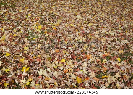 Multicolor Autumn leaves covering the ground during Autumn.  - stock photo