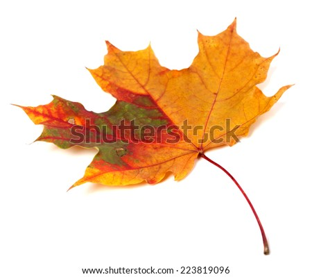 Multicolor autumn maple leaf. Isolated on white background