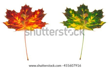 Multicolor autumn maple-leaf. Isolated on white background - stock photo