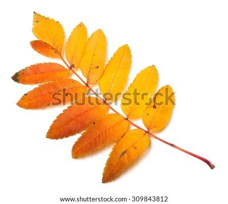 Multicolor autumn rowan leaf. Isolated on white background - stock photo