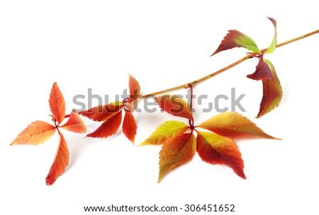 Multicolor autumnal grapes leaves (Parthenocissus quinquefolia foliage). Isolated on white background.  - stock photo