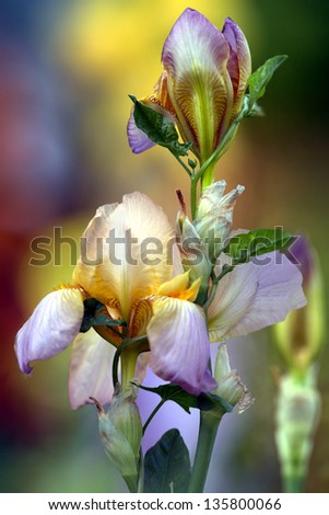 Multicolor bearded iris flower in garden