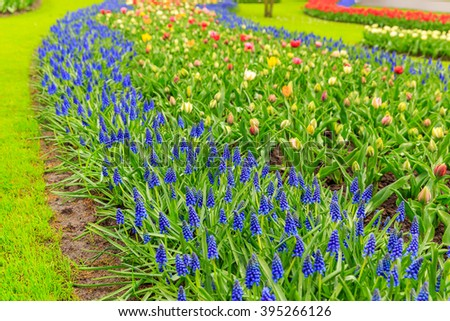 Multicolor flowerbed with blue muscari and multicolor mix of flowers in the strip in the grass - stock photo