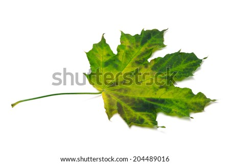 Multicolor maple-leaf isolated on white background.  - stock photo