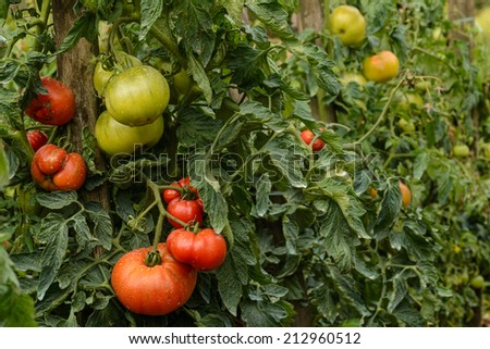 Multicolor tomatoes growing in a garden - stock photo
