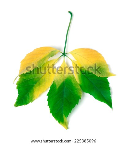 Multicolor virginia creeper leaves isolated on white background - stock photo