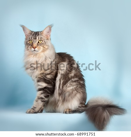 Multicolored  Cat on blue background - stock photo