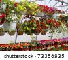 Multicolored flowers in hanging baskets in a greenhouse - stock photo