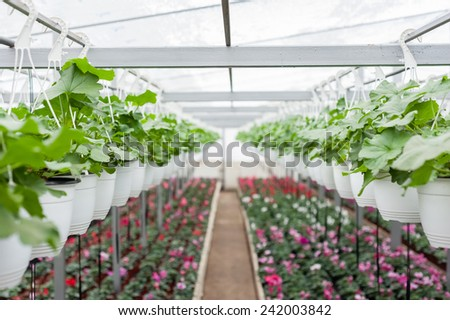 Multicolored flowers in hanging pots in a greenhouse