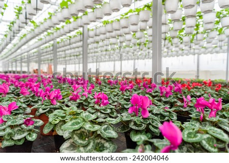 Multicolored flowers in hanging pots in a greenhouse - stock photo