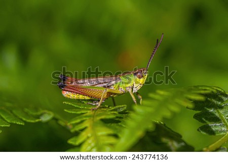 multicolored grasshopper. - stock photo