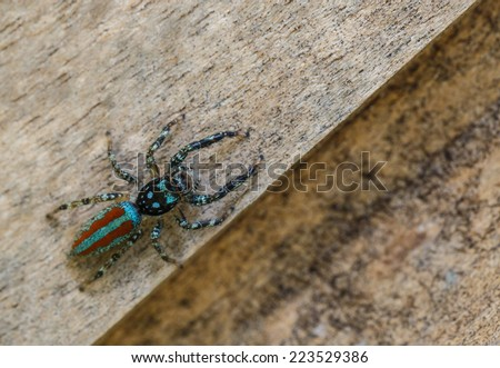 Multicolored jumper spider in teh amazon jungle - stock photo