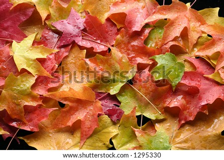multicolored leaves 4 - stock photo
