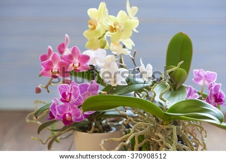 Multicolored orchid - stock photo