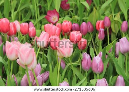 Multicolored tulip flowers - stock photo