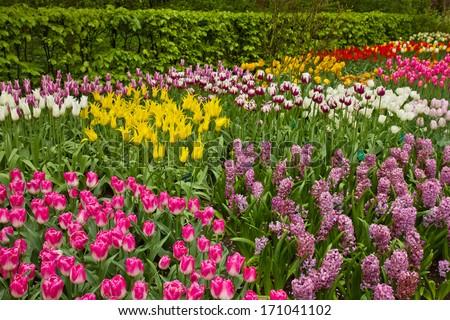multicolored  tulips flowerbed  in Keukenhof garden, Holland - stock photo