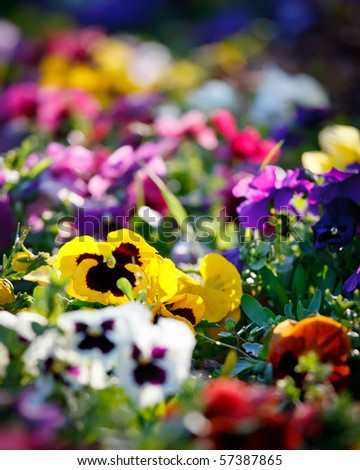 Multicolored violet flowers - stock photo