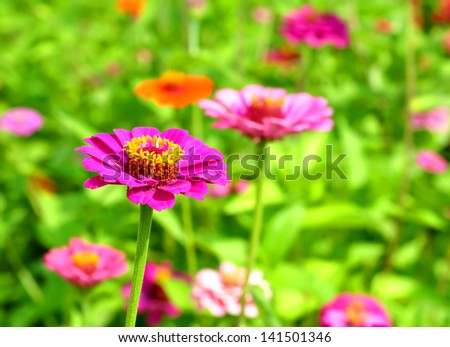 Multicolored zinnias - natural background