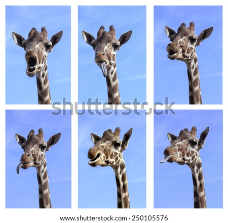Multiple of Funny Giraffe Close Up Portraits - stock photo