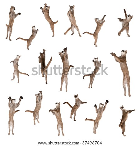 Multiple Pumas jumping in air against white background, studio shot