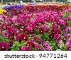 Multiple varieties of pansy flowers growing in flowerbeds - stock photo