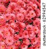 mum flower carpet - stock photo