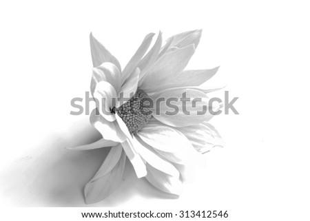 Mum flower in monochrome - stock photo