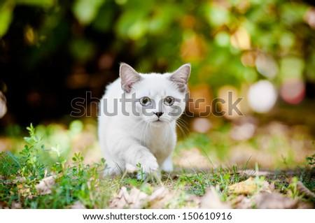 munchkin kitten outdoors - stock photo