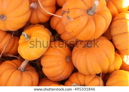 Munchkin Pumpkin, mini size pumpkin, barely 7 to 10 cm wide, bright orange with deep ribs, ideal for decorating during Halloween.