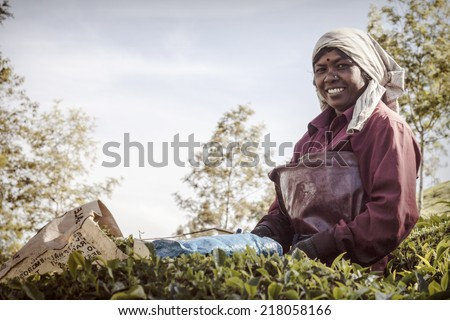 MUNNAR, INDIA - DECEMBER 8 : Woman picking tea leaves in a tea plantation, Munnar is best known as India's tea capital. December 8.,2013 - Munnar, Kerala, India  - stock photo