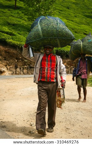 MUNNAR, KERALA, INDIA - 08 JAN 2015: Tea pickers carry bags with tea leaves on his head in Munnar, India of 08 JAN 2015. The weight of each bag is about 50 kg. - stock photo