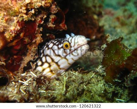 Muraena melanotis (Honeycomb moray) - stock photo