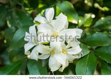 Murraya paniculata garden stock photo 671244676 shutterstock murraya paniculata is a tropical evergreen plant bearing small white scented flowers mightylinksfo
