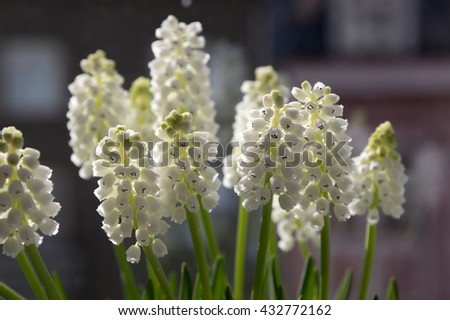Muscari album - grape hyacinth in bloom on dark background - stock photo
