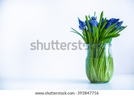 Muscari blue flowers  - stock photo