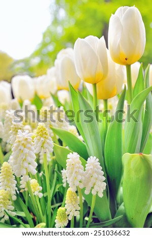Muscari botryoides and tulips in spring time - stock photo