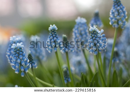 Muscari botryoides flowers in springtime - stock photo
